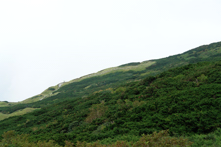 ダイセンキャラボクの純林