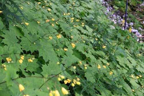 剣山のキレンゲショウマ