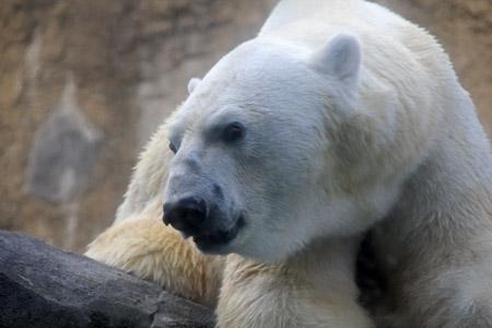 旭山動物園ホッキョクグマ