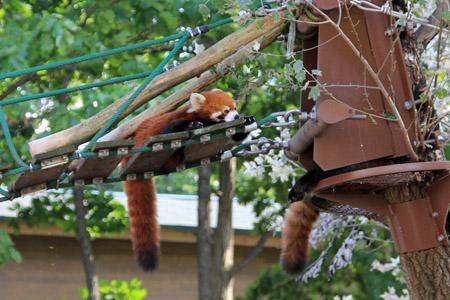 旭山動物園レッサーパンダ