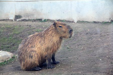 旭山動物園カピバラ