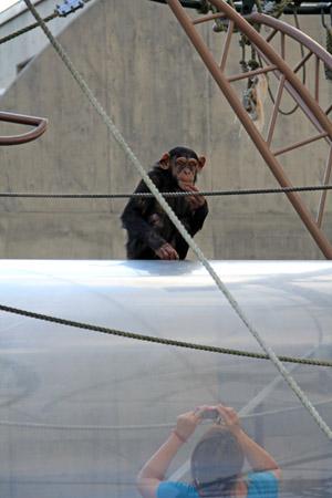 旭山動物園チンパンジーの森