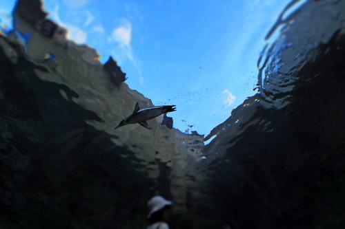 旭山動物園空飛ぶペンギン