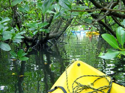 西表島マングローブ林探検