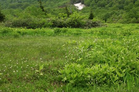 栂池自然園ミズバショウ湿原