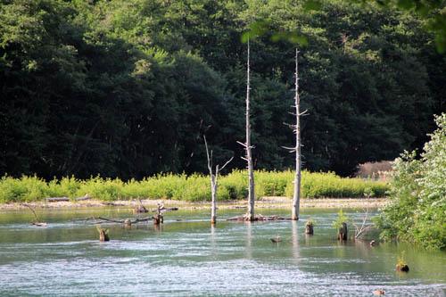大正池立ち枯れの木