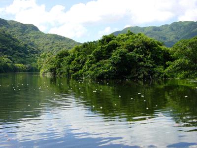浦内川のサガリバナ