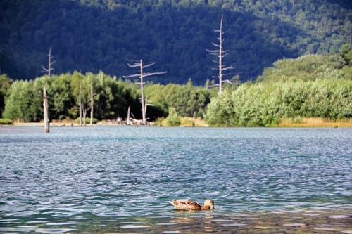 大正池のマガモ