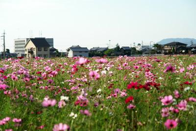 見奈良のコスモス畑