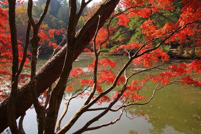 神戸市立森林植物園長谷池の紅葉