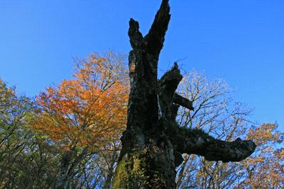 皿ヶ嶺の老木