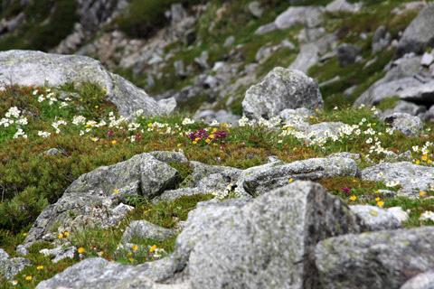 木曽駒ヶ岳の花畑