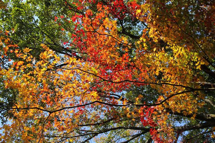 神戸市立森林植物園の紅葉
