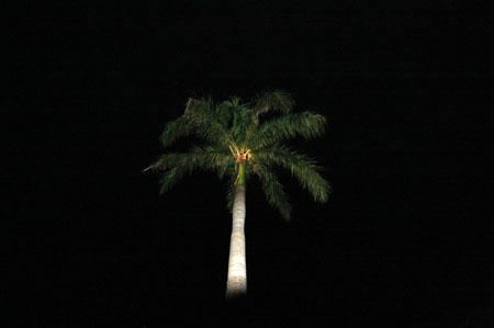 父島夜のヤシの木