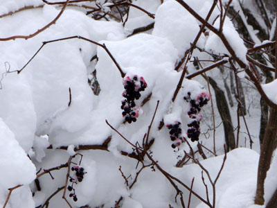 雪のヤマブドウ