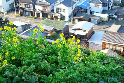 日本水仙花開道への道