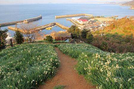 日本水仙花開道と伊予灘