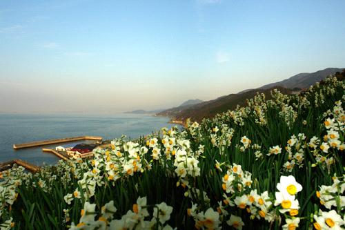 日本水仙花開道と夕方の伊予灘