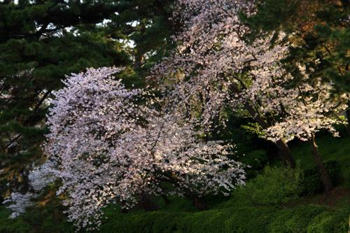 松山城朝の桜