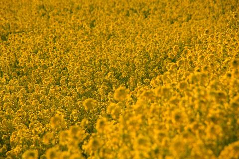 夕方の見奈良の菜の花畑