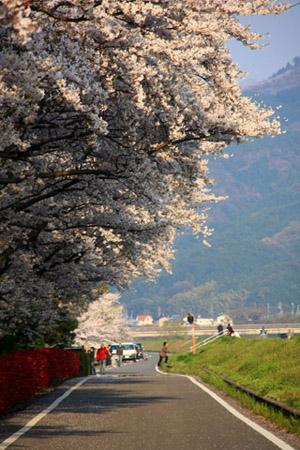 愛媛県森の交流センターの桜並木