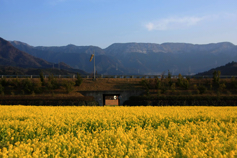 見奈良の菜の花畑と皿ヶ嶺