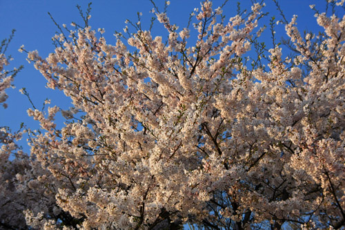 夕日に照らされる桜