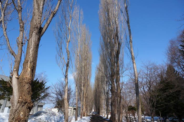 北海道大学冬のポプラ並木