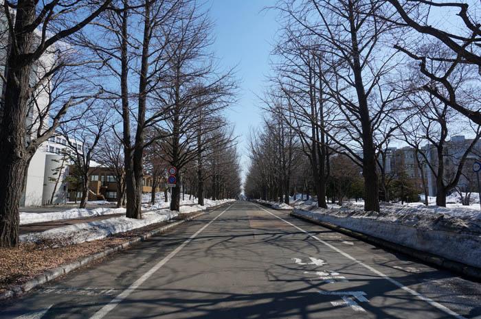 北海道大学冬のイチョウ並木