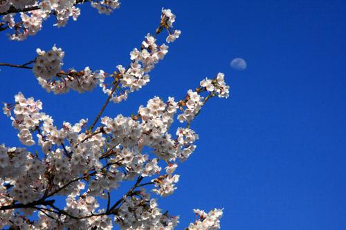 桜と青空と月