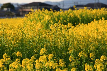 見奈良の菜の花畑の夕景