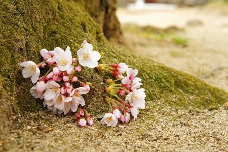 松山城根性桜