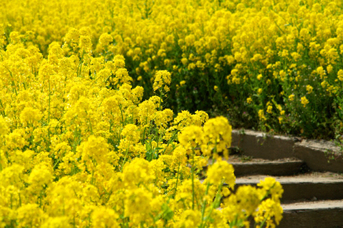 翠波高原の菜の花