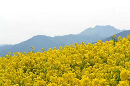 翠波高原の菜の花畑と石鎚山