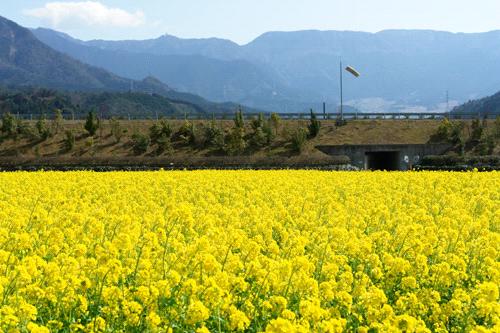 見奈良の菜の花畑