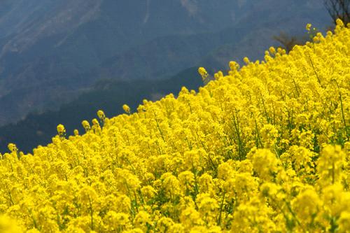 翠波高原菜の花畑