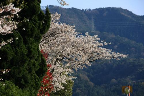 愛媛県森の交流センターの桜