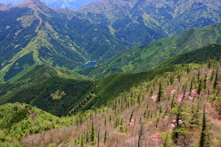 西赤石山のアケボノツツジ