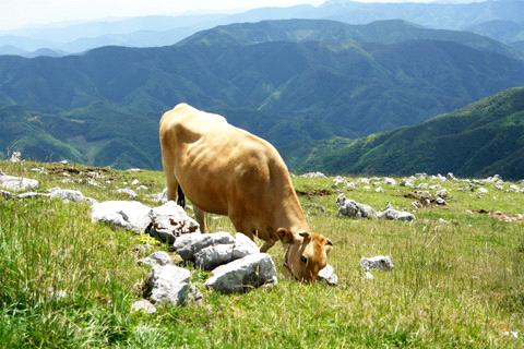 姫鶴平の牛