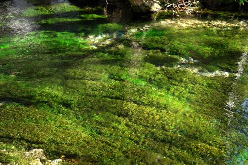 清水川のバイカモ