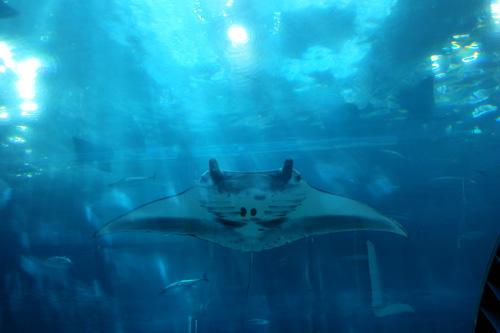 沖縄美ら海水族館マンタ