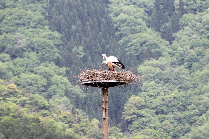 営巣するコウノトリ